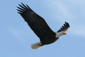 Bald Eagle, Green Point WMA, Dresden, photo by Margaret Viens