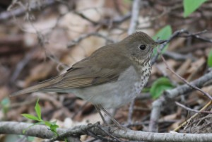 Bicknell's Thrush, Viles Arboretum, photo by Margaret Viens