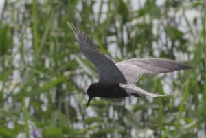 Black Tern, Messalonskee Marsh, photo by Margaret Viens