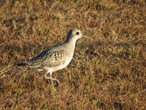 Black-bellied Plover, Augusta Police Station, photo by Glenn Hodgkins