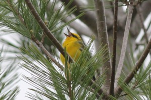 Blue-winged Warbler, Bond Brook Recreational Area, photo by Margaret Viens