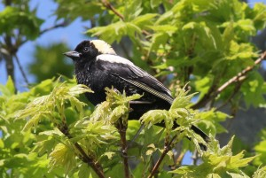 Bobolink, Viles Arboretum, photo by Margaret Viens