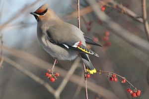 Bohemian Waxwing, Waterville, photo by Margaret Viens