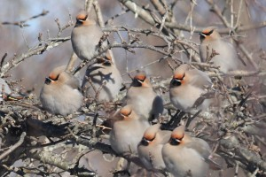Bohemian Waxwings, Waterville, photo by Margaret Viens