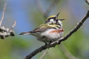 Chestnut-sided Warbler, Viles Arboretum, photo by Margaret Viens