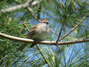 Chipping Sparrow, Viles Arboretum, photo by Glenn Hodgkins