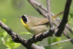 Common Yellow-throat, Bond Brook Recreational Area, photo by Margaret Viens
