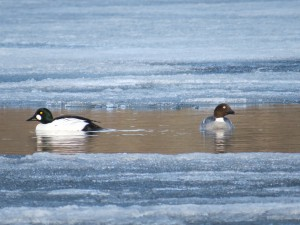 Common Goldeneyes, Pleasant Pond, Richmond, photo by Glenn Hodgkins