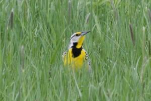 Eastern Meadowlark, Viles Arboretum, photo by Margaret Viens