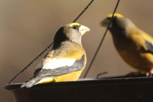 Evening Grosbeak, Waterville, photo by Margaret Viens