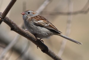 Field Sparrow, Bond Brook Recreational Area, photo by Margaret Viens