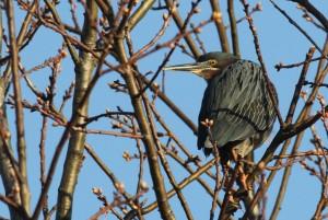 Green Heron, Viles Arboretum, photo by Margaret Viens