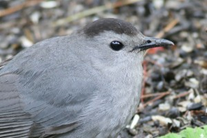 Gray Catbird, Waterville, photo by Margaret Viens