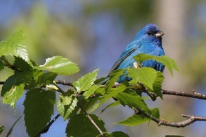 Indigo Bunting, Viles Arboretum, photo by Margaret Viens