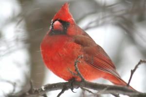 Northern Cardinal, Waterville, photo by Margaret Viens