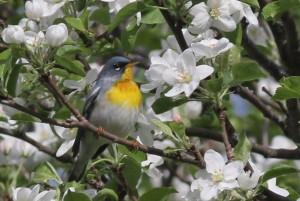 Northern Parula, Viles Arboretum, photo by Margaret Viens