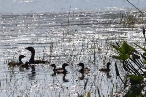 Pied-billed Grebes, Messalonskee Marsh, photo by Margaret Viens