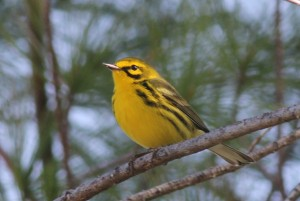 Prairie Warbler, Bond Brook Recreational Area, photo by Margaret Viens