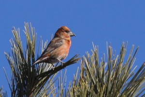 Red Crossbill, Brunswick Landing, photo by Margaret Viens