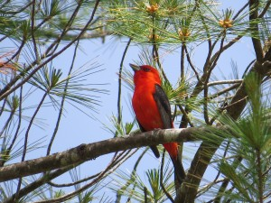Scarlet Tanager, Hidden Valley Nature Center, photo by Glenn Hodgkins