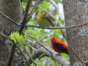 Scarlet Tanagers, Hallowell Reservoir, photo by Glenn Hodgkins