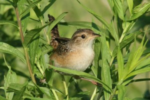 Sedge Wren, Viles Arboretum, photo by Margaret Viens