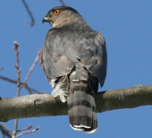 Sharp-shinned Hawk, Waterville, photo by Margaret Viens