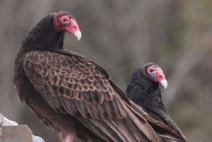 Turkey Vultures, Viles Arboretum, photo by Margaret Viens