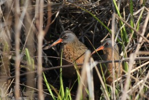Virginia Rails, Viles Arboretum, photo by Margaret Viens