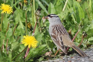 White-crowned Sparrow, Viles Arboretum, photo by Margaret Viens