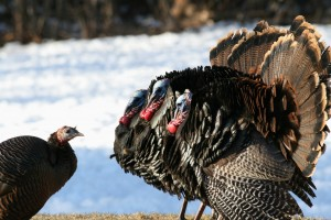 Wild Turkeys, Augusta, photo by Margaret Viens