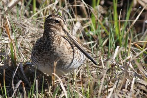 Wilson's Snipe, Viles Arboretum, photo by Margaret Viens