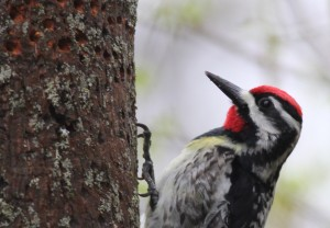 Yellow-bellied Sapsucker, Waterville, photo by Margaret Viens