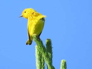Yellow Warbler, Viles Arboretum, photo by Glenn Hodgkins