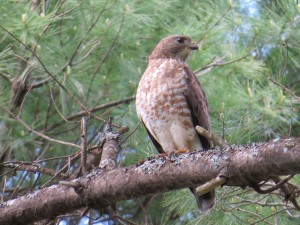 Broad-winged Hawk, Bond Brook Recreational Area, photo by Glenn Hodgkins