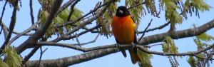 Baltimore Oriole, Viles Arboretum