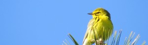 Prairie Warbler, Bond Brook Recreation Area, May 14, 2013
