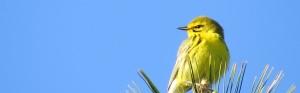Prairie Warbler, Bond Brook Recreation Area, May 14, 2013