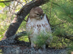 Red-tailed Hawk, Viles Arboretum, hiding from mobbing crows, photo by Glenn Hodgkins