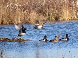 Ring-necked Ducks, Messalonskee Marsh, photo by Glenn Hodgkins