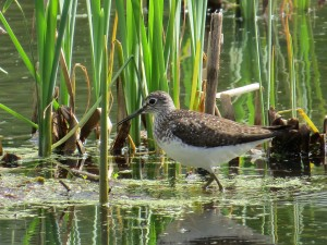 Solitary Sandpiper, Viles Arboretum, photo by Glenn Hodgkins