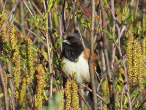 Eastern Towhee, Bond Brook Recreational Area, photo by Glenn Hodgkins