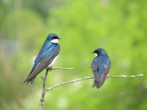 Tree Swallows, Viles Arboretum, photo by Glenn Hodgkins