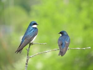 Tree Swallows, Viles Arboretum, photo by Glenn Hodgkins