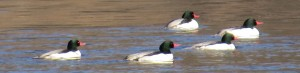 Common Mergansers, Kennebec River at Hallowell