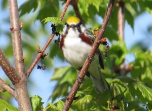 Chestnut-sided Warbler, Hutchinson Pond Conservation Area, Manchester