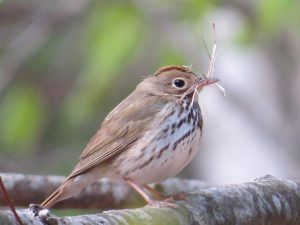 Ovenbird, Viles Arboretum, photo by Glenn Hodgkins
