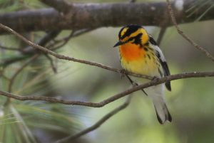 Blackburnian Warbler, Rome, photo by Margaret Viens