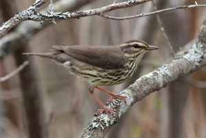 Northern Waterthrush, Green Point WMA, Dresden, photo by Margaret Viens