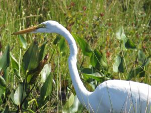 Great Egret, Messalonskee Marsh, photo by Glenn Hodgkins